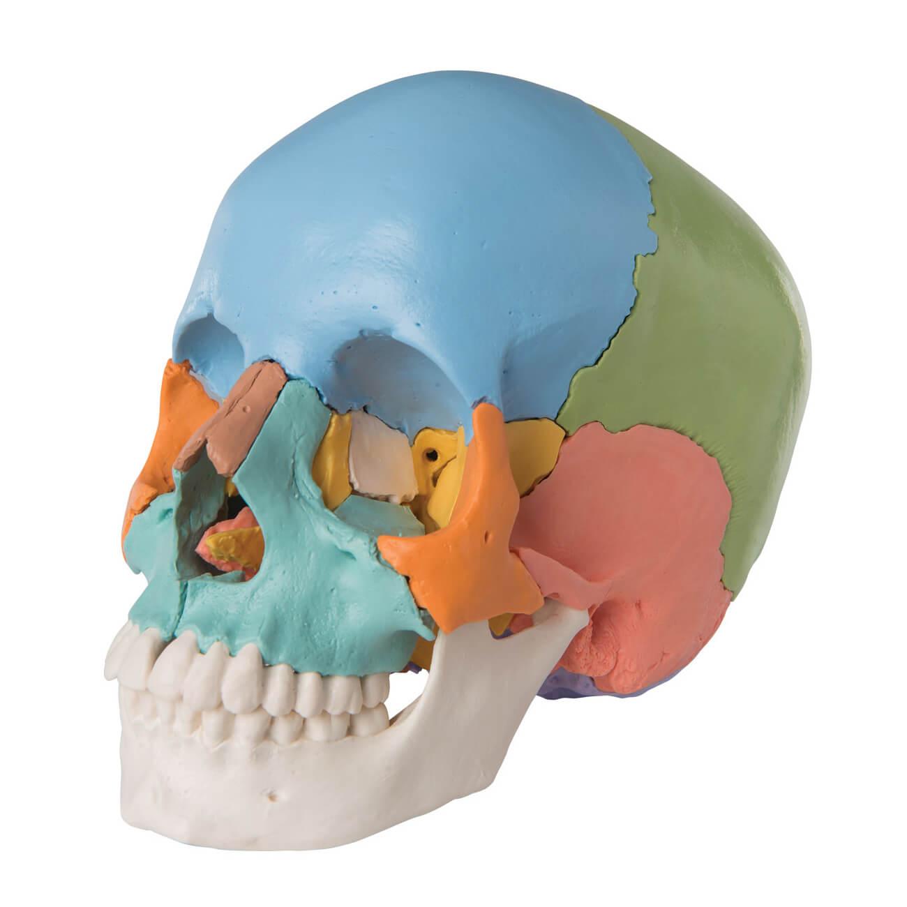 Crâne articulé 22 pièces didactique 9 couleurs