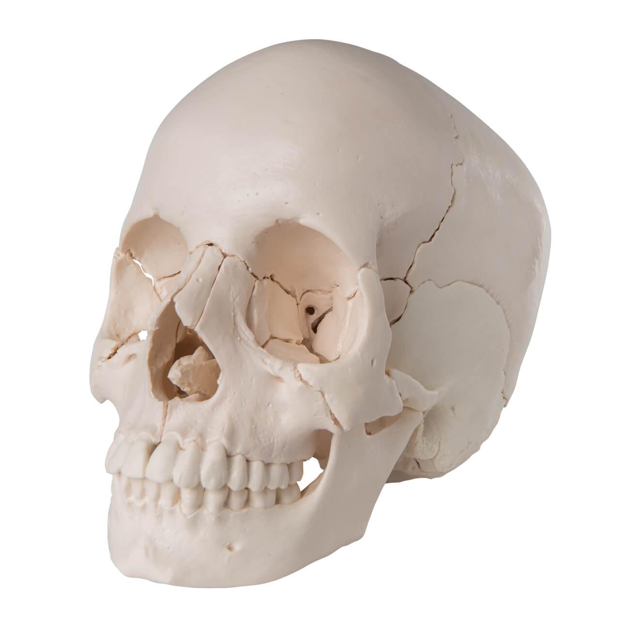 Crâne articulé 22 pièces teinte naturelle