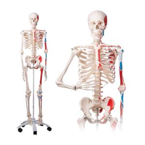 Squelette humain Max A11