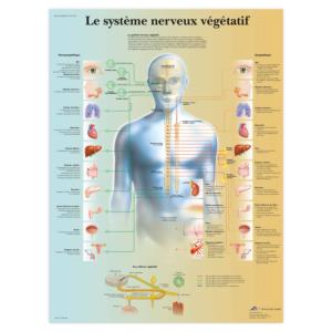 Planche anatomique Le système nerveux végétatif
