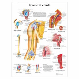 """Planche anatomique \""""Épaule et coude\"""""""