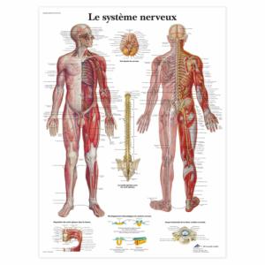"""Planche anatomique \""""Le système nerveux\"""""""