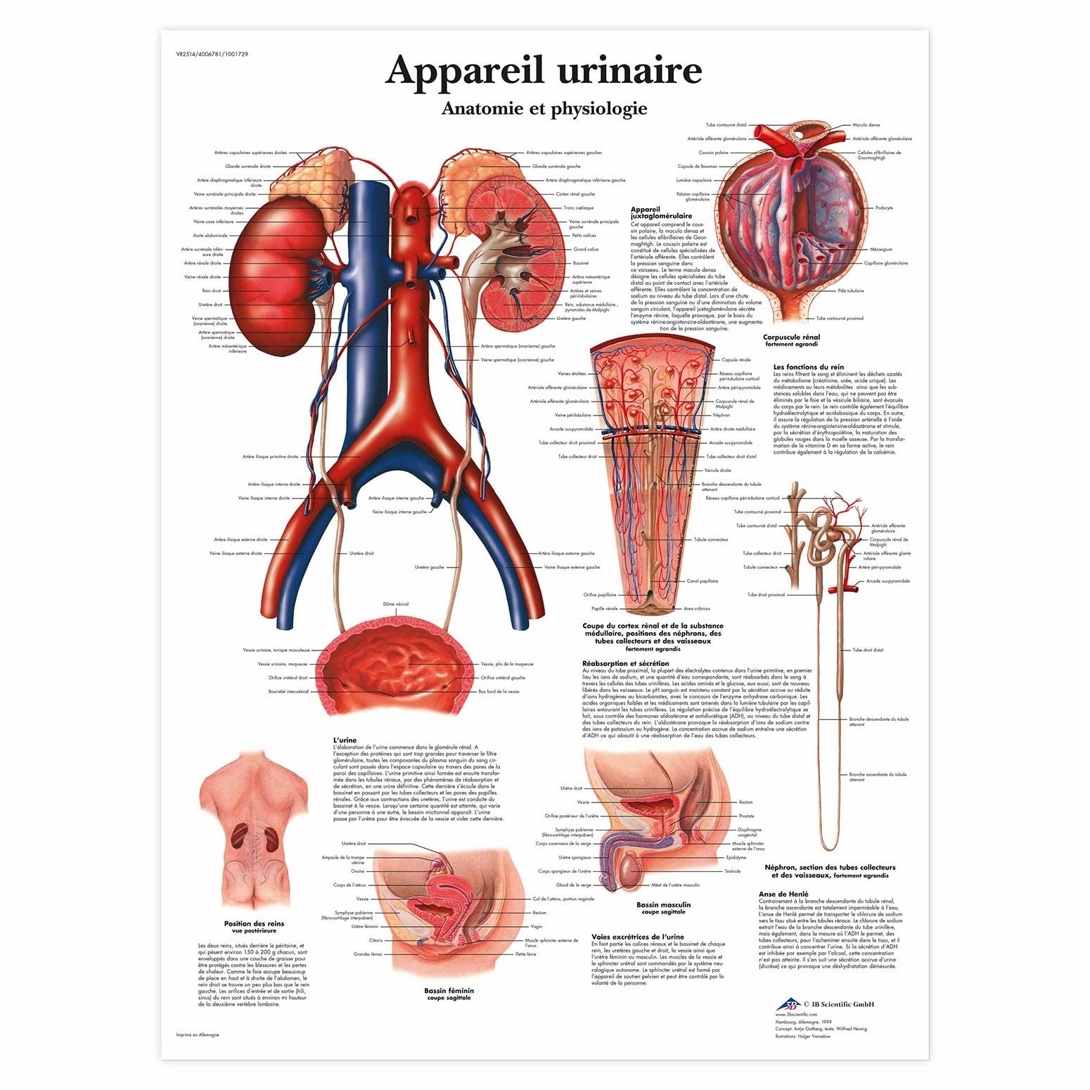 Planche anatomique Appareil urinaire