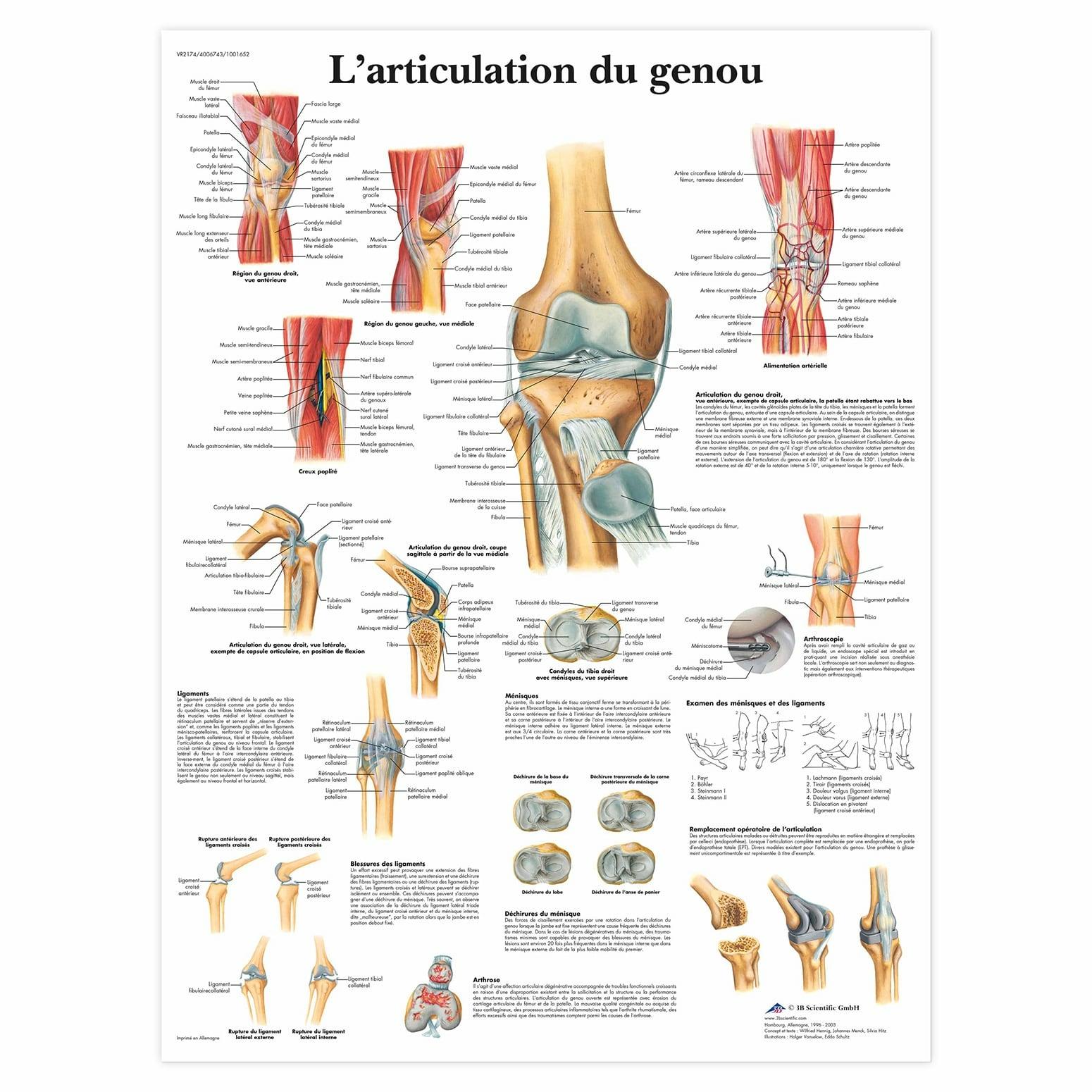 Planche anatomique L'articulation du genou