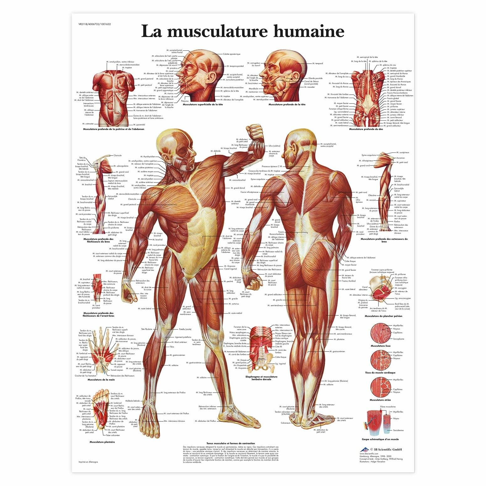 Planche anatomique La musculature humaine