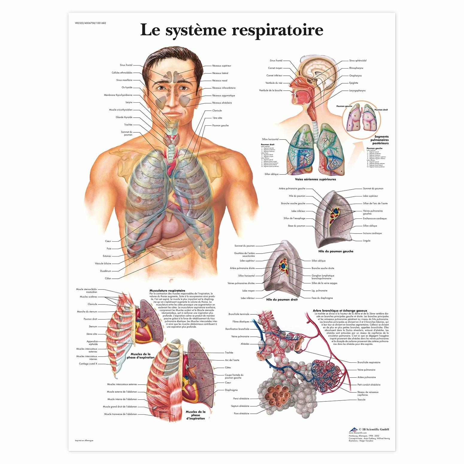 Planche anatomique Le système respiratoire