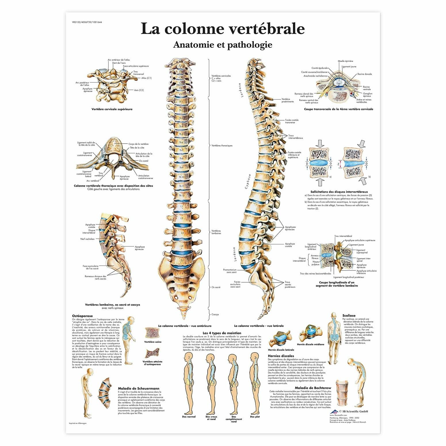 Planche anatomique La colonne vertébrale