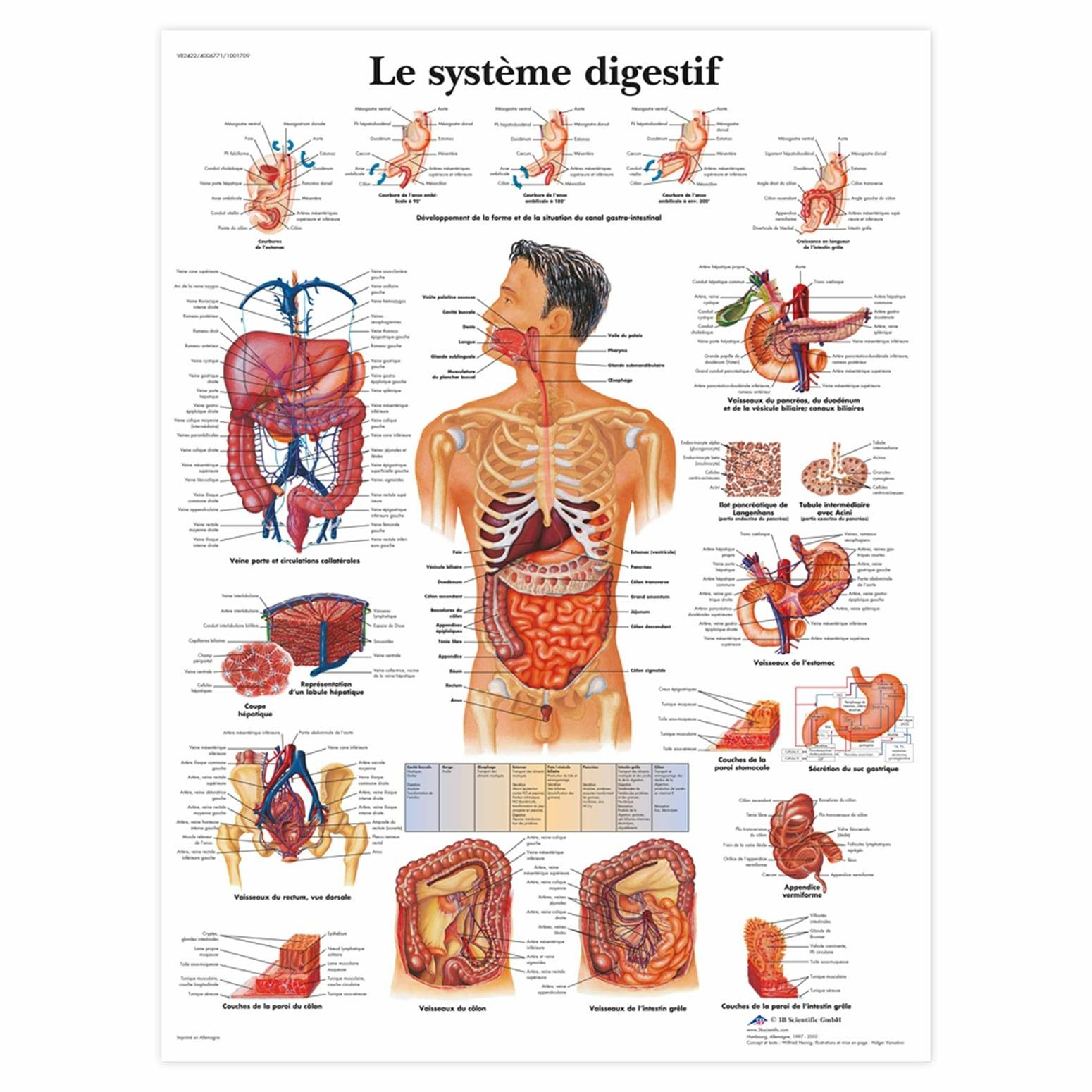 Planche anatomique Le système digestif