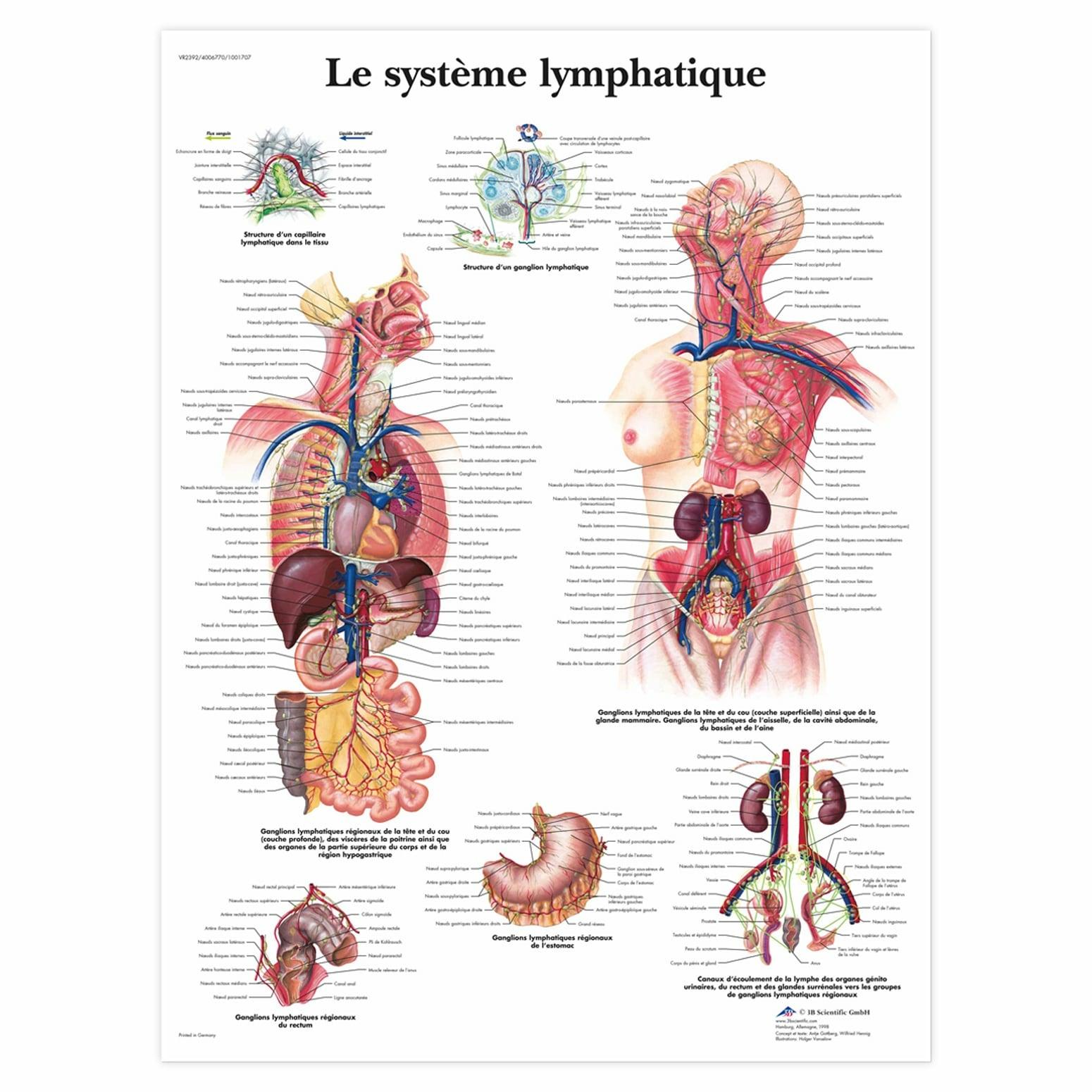 Planche anatomique Le système lymphatique