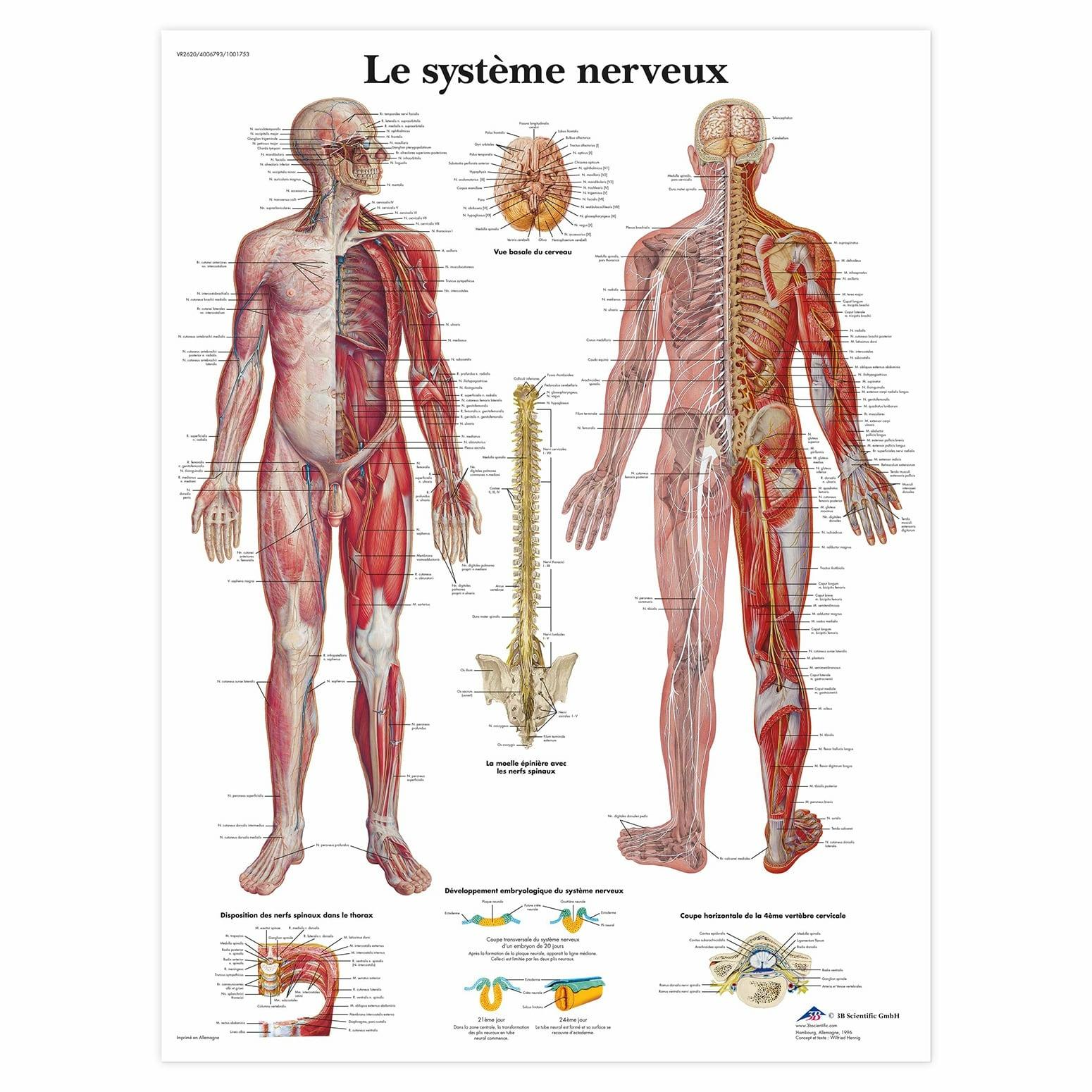 Planche anatomique Le système nerveux