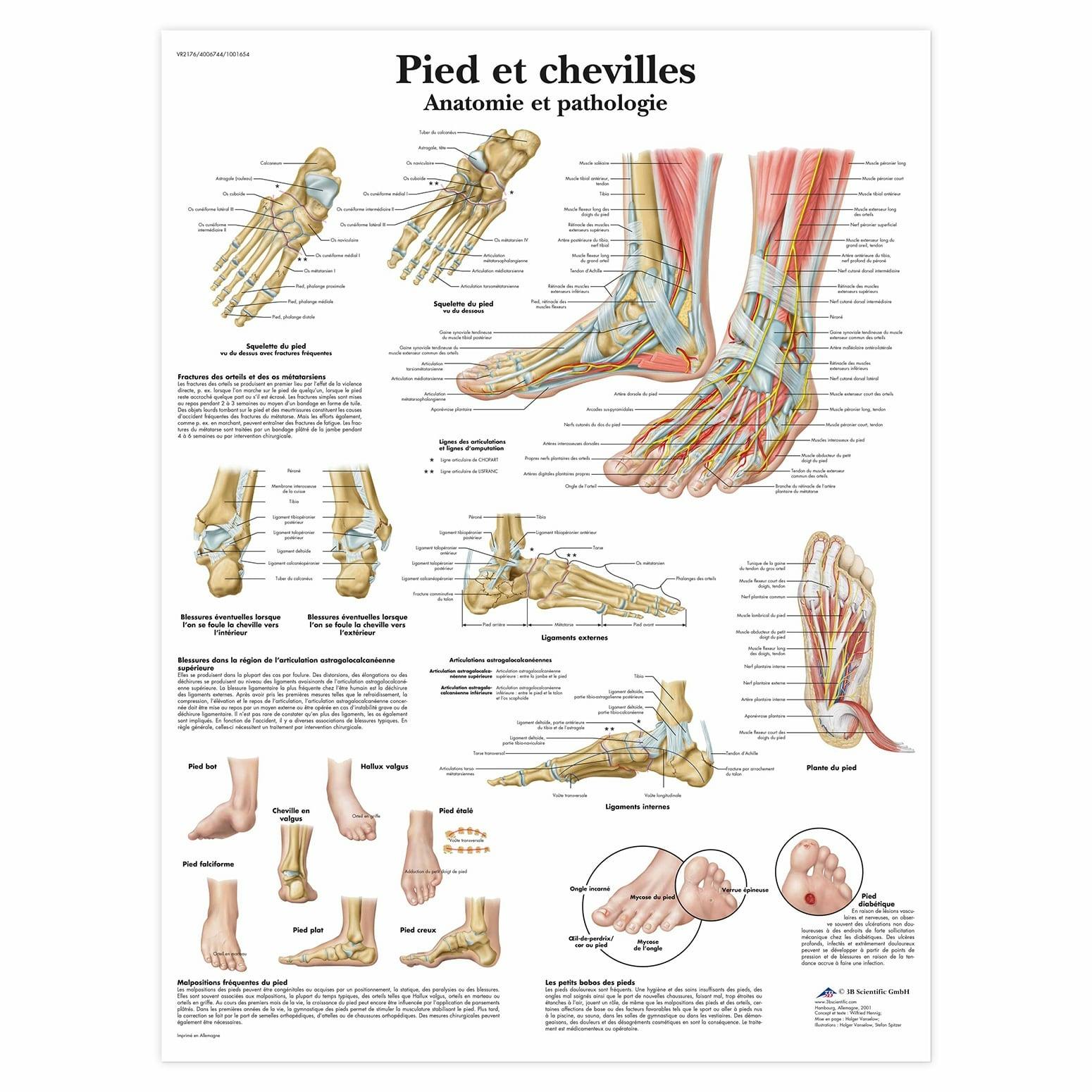 Planche anatomique Pieds et chevilles