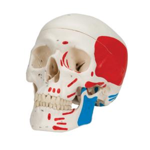 Crâne classique peint en 3 parties