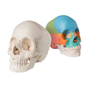 Crâne articulé 22 pièces