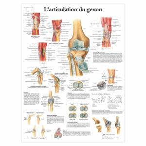 """Planche anatomique \""""L'articulation du genou\"""""""