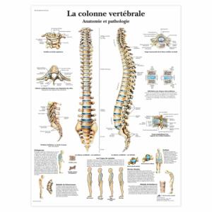 """Planche anatomique \""""La colonne vertébrale\"""""""