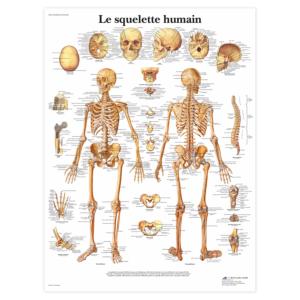 """Planche anatomique \""""Le squelette humain\"""""""