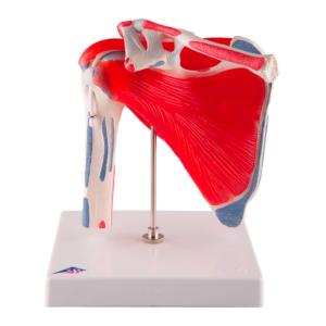 Articulation de l'Epaule avec coiffe des rotateurs