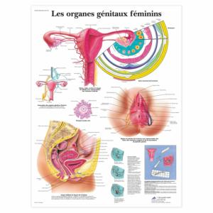 """Planche anatomique \""""Les organes génitaux féminins\"""""""